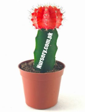 Moon Cactus (Grafted, Red) Large - Cactus Plant