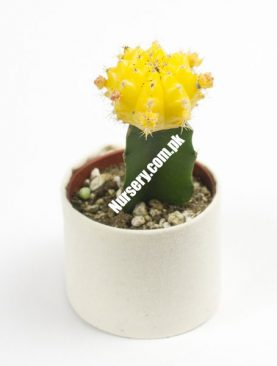 Moon Cactus (Grafted, Yellow) Large - Cactus Plant