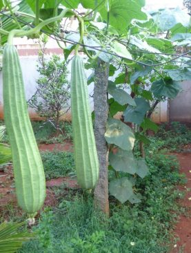 Ridge Gourd, Tori long - Desi Seeds